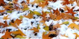 sweetgum leaves in the snow