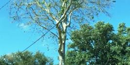sycamore anthracnose causing canopy thinning