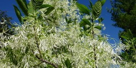 White fringetree in bloom