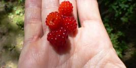 Wineberries in hand