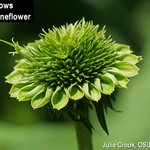 Coneflower head deformed by aster yellows