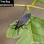 Goldenrain Tree Bug