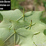 Maple Petiole Borer
