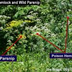 Poison Hemlock and Wild Parsnip