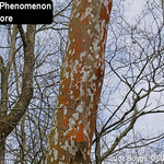 Red Bark Phenomenon