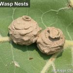 Potter Wasp Nests