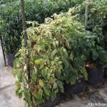 high tunnel tomatoes, pests