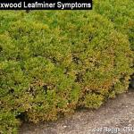 Boxwood Leafminer Spring Symptoms