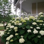 Hydrangeas In The Landscape