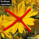 Maximilian Sunflower