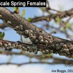 Calico Scale Spring Females