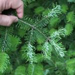 Frost Damage on Canaan Fir