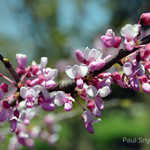 Many selections of Cercis canadensis exist on the market and there is a redbud that is right for you.