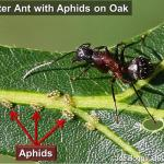 Carpenter Ant with Aphids