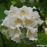 Catalpa Blooms