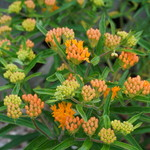 Butterfly Weed Beginning to Bloom
