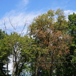 Suspect Oak Wilt in NW Ohio - Lucas County
