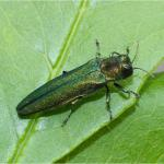 Emerald Ash Borer Adults