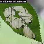 Elm Leafming Sawfly Larvae in Mines