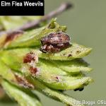 European Elm Flea Weevil