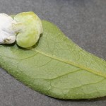 Fungus Gall on Leaf, Photo Credit: Ashley Kulhanek