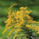 Goldenrod, Solidago spp.