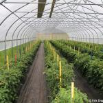 high tunnel tomato production