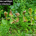 Honeysuyckle leaf blight mid-season symptoms