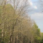 Defoliated Woodlot Infested with Gypsy Moth during the Summer