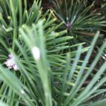 Pine Needle Scale on Mugo Pine