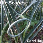 Tasty garlic scape starting to curl