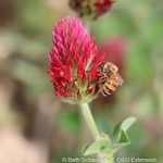 honey bee on red clover