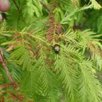 Japanese beetle on dawnredwood