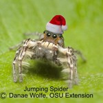Jumping Spider with Santa Hat