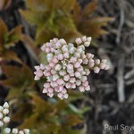 Mukdenia's coral flower stalks emerge before the foliage around 45 growing degree days.