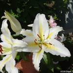 Oriental Lily bloom