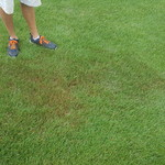 Overall appearance of severe leaf spot in turf