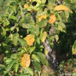 Apple Scab lesions on crabapple