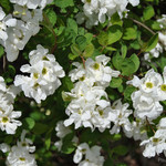 Close up of flowers on Exochorda