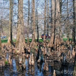 What is the function of cypress knees?