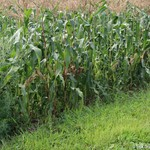 Sweet corn with damage in the field
