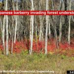 Barberry invades forest understories