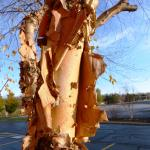 Heritage River birch bark in Fall