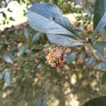 Cedar q2uince rust on hawthorn
