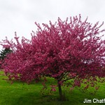 Welcome to the Show(time) crabapple