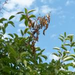 Fireblight strike on crabapple