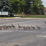 Canada geese march across crosswalk.