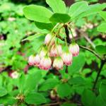 Red-veined enkianthus flowers