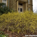 Forsythia starts to bloom at the OSU Wooster Campus