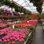 Geraniums fills the garden center benches